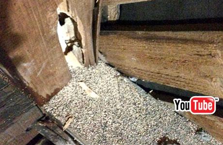 屋根裏にアメリカカンザイシロアリ大量の糞