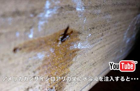 アメリカカンザイシロアリの巣にホウ酸水溶液を注入すると